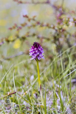 Hybride Neotinea ustulata x Neotinea tridentata