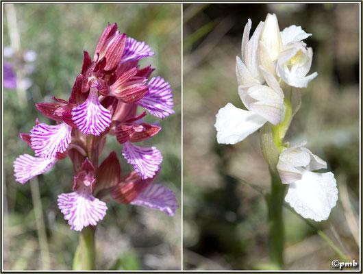 Anacamptis-papilionacea-subsp.-expansa-f.-albiflora