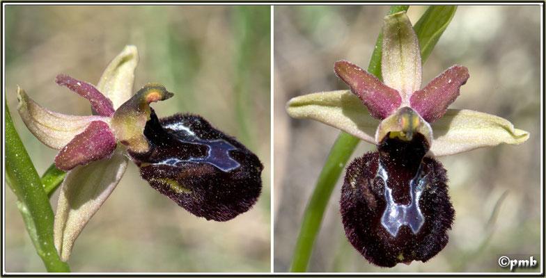 X-Ophrys-ligustica-X-Ophrys-saratoi