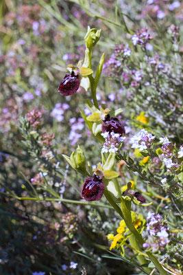 Ophrys ligustica (Vence)