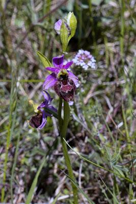 hybride Ophrys bertolonii x Ophrys vetula