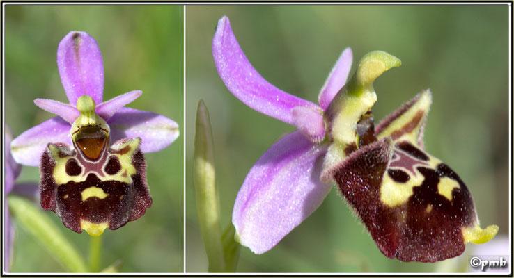 X-Ophrys-vetula-X-Ophrys-druentica