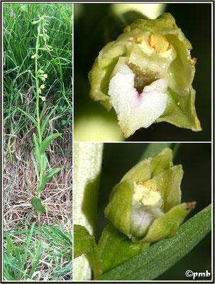 Epipactis rhodanensis