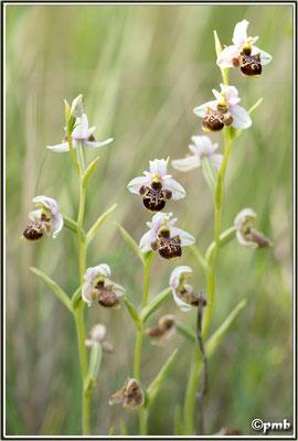 Ophrys-vetula