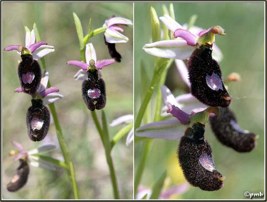 Ophrys-bertolonii