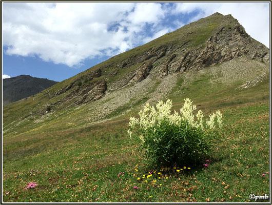 Aconogonum alpinum