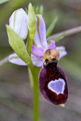Ophrys saratoi