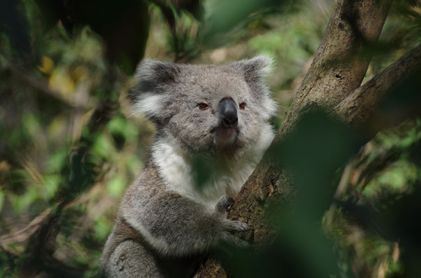 Koala, Australien, Natur
