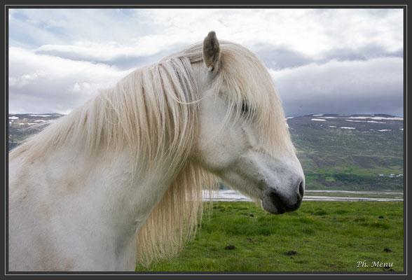 Une race locale de cheval que l'on peut voir absolument partout