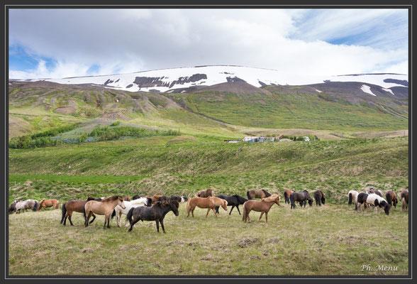 La particularité des chevaux islandais c'est qu'ils ne galopent pas, ils courent !