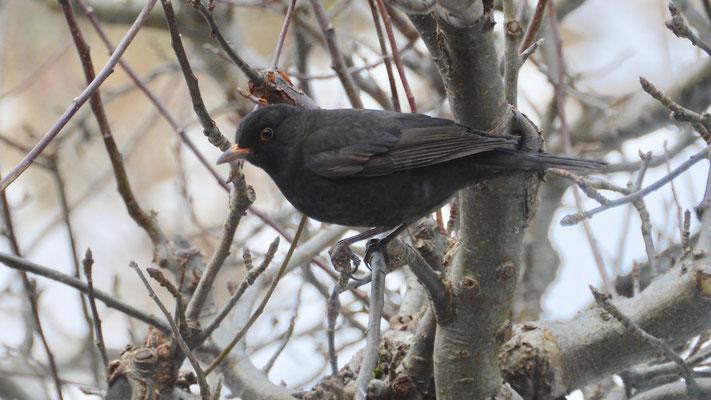 Blackbird - Merel - Amsel - Koltrast - Turdus merula