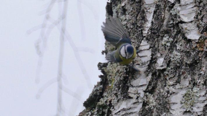 Eurasian blue tit - Pimpelmees - Blaumeise - Cyanistes caeruleus