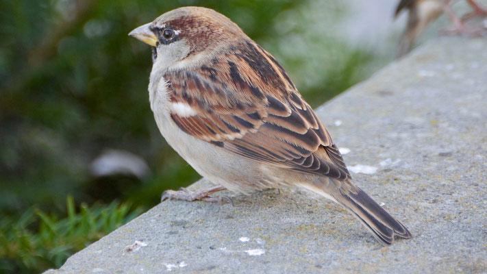 House sparrow - Huismus - Haussperling - Gråsparv - Passer domesticus