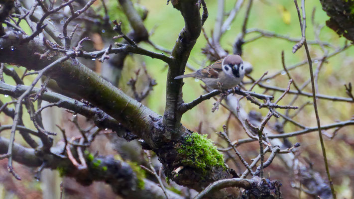 Eurasian tree sparrow - Ringmus - Feldsperling - Pilfink - Passer montanus