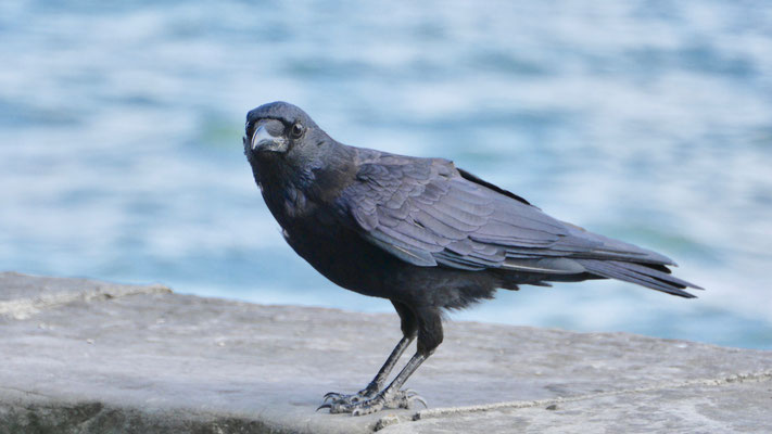 Carrion Crow - Zwarte Kraai - Rabenkrähe - Kråka - Corvus corone corone