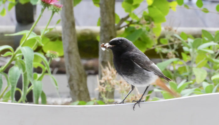 Black Redstart - Zwarte Roodstaart - Hausrotschwanz - Svart rödstjärt - Phoenicurus ochruros