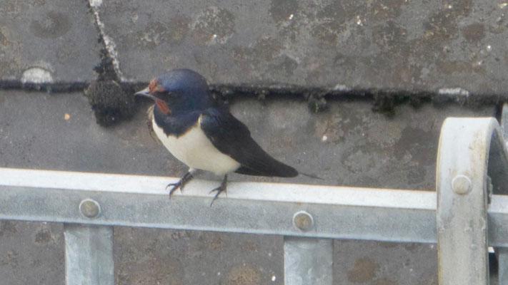 Barn swallow - Boerenzwaluw - Rauchschwalbe - Ladusvala - Hirundo rustica