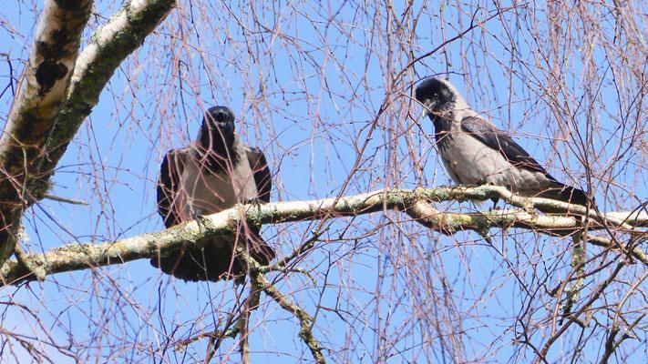 Hooded Crow - Bonte Kraai - Nebelkrähe - Gråkråka - Corvus Corone Cornix