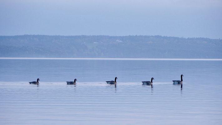 Canada goose - Canadese Gans - Kanadagans - Kanadagås - Branta canadensis