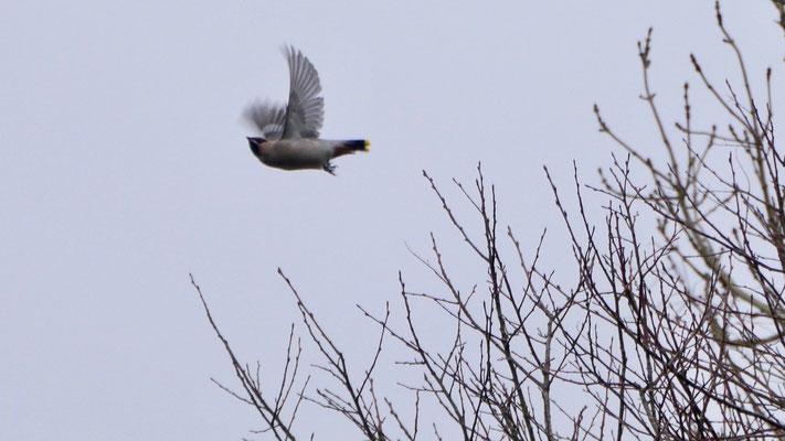Bohemian waxwing - Pestvogel - Seidenschwanz - Sidensvans - Bombycilla garrulus