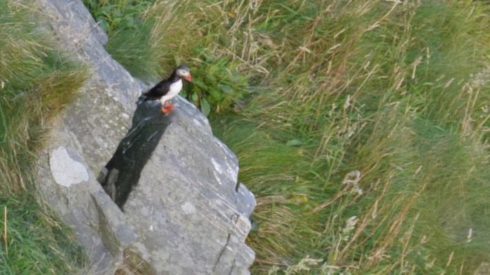 Atlantic puffin - Papegaaiduiker - Papageitaucher - Lunnefågel - Fratercula arctica