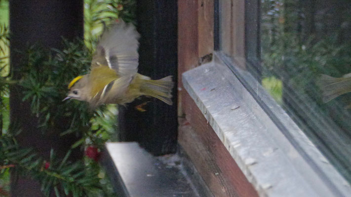 Goldcrest - Goudhaan - Wintergoldhähnchen - Kungsfågel - Regulus regulus