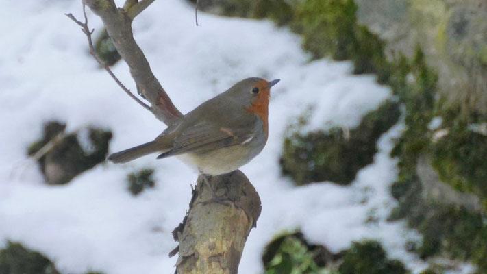 European robin - Roodborst - Rotkehlchen - Rödhake - Erithacus rubecula