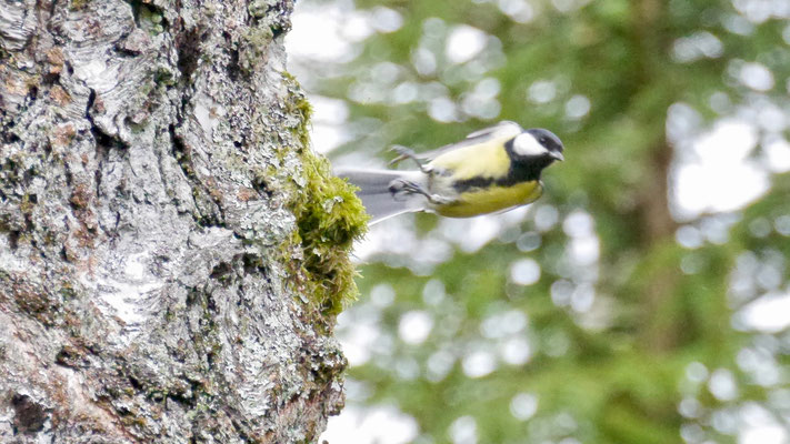 Great tit - Koolmees - Kohlmeise - Talgoxe - Parus major