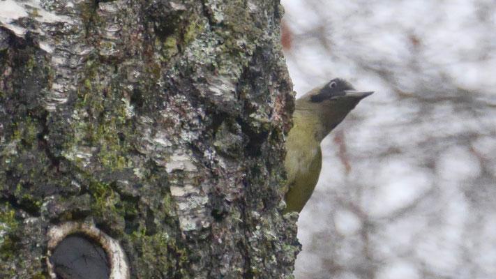 European green woodpecker - Groene Specht - Grünspecht - Gröngöling - Picus viridis