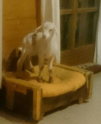 ganz junges Lamm erobert das Katzenbett aus gebrauchten Paletten für sich