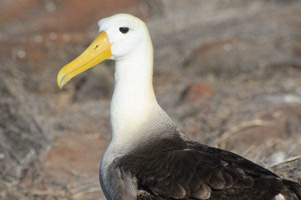 Adult Waved Albatross has an 8-9 ft. wingspan