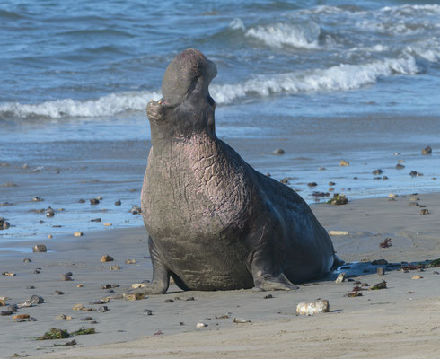 Northern Male Elephant Seal: range in size from 14-16ft and weigh between 4,500 and 5,400 lbs. The pinkish color is the Chest Shield. Males develop cornified, or thickly calloused, skin on their chests as they mature.