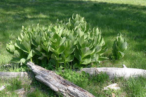 Corn Lilly Plants