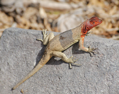 Female Lava Lizard