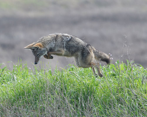 Coyote, Las Gallinas Ponds