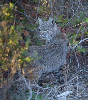 Bobcat, Año Nuevo