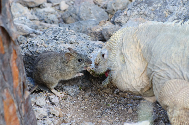 Land Iguana sharing a cactus leaf with a Galapagos Rice Rat