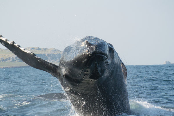 Humpback Whale, Puerto Vallarta