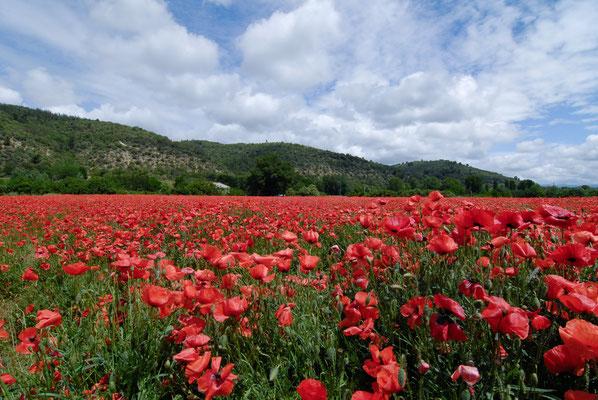 Allemagne-en-Provence: Coquelicot (Papaver rhoeas)