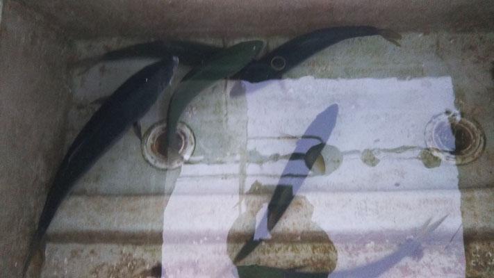 1月19日池間の残りワラサ2匹 ヒラゴ