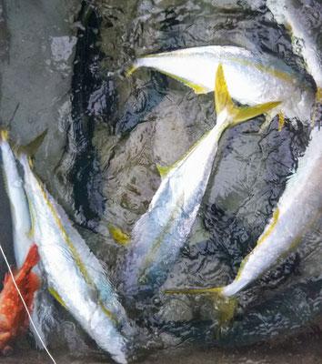 1月19日今日の釣果3㎏超えヒラマサ3匹 3㎏弱×8匹 ワラサ2匹・ヒラゴ