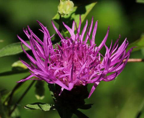 Flockenblume, Wiesen-