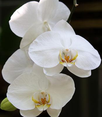 Phalaenopsis Hybriden