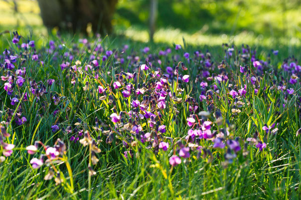 Platterbse, Frühlings-