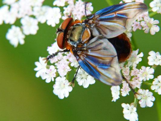 Raupenschwebfliege