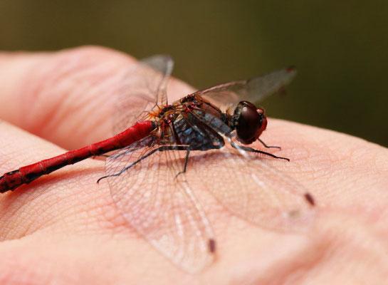Heidelibelle, Blutrote  auf meiner rechten Hand mit LINKS fotografiert.