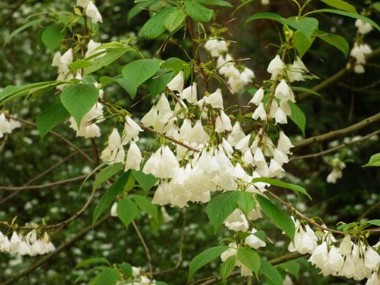 Maiglöckchenbaum