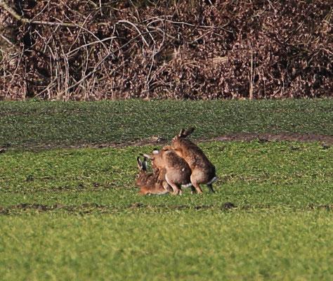 Kaninchen fühlen sich in der ersten Frühlingssonne 2016 sichtlich wohl.
