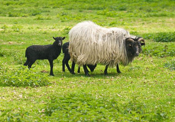 Schafe im Frühling 2019.