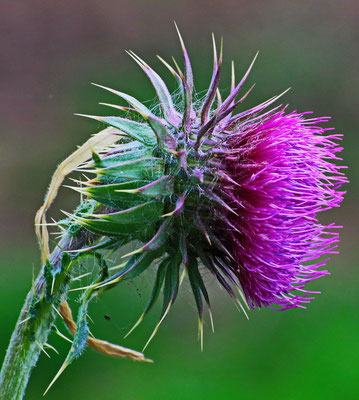 Distel, Nickende